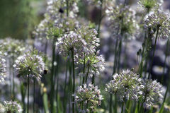 Onions meadow Stock Images