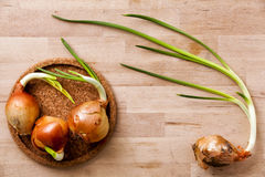 Onions old flowering. Plate of cork. Wooden surface. Royalty Free Stock Images