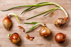 Onions old flowering Stock Photography