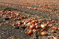 Onions in onion field Stock Photo