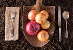 Onions. Organic farm to table healthy eating concept on soil background Stock Image