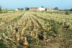 Onions plantation Royalty Free Stock Photography