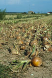 Onions plantation Stock Photos