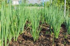 Onions in plantation Royalty Free Stock Photos