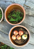 Onions planted in the pot Royalty Free Stock Photography