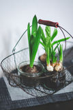 Onions Plants Royalty Free Stock Images