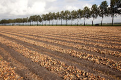 Onions ready to be harvested on a field in Holland royalty free stock photo
