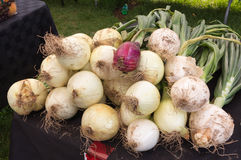 Onions for sale at Farmers Market Stock Photography