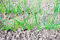 Onions seedlings on a bed. Green onions seedlings on a bed Stock Photos