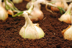 Onions in soil Royalty Free Stock Photos