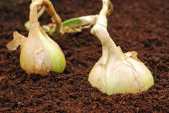 Onions in soil. Two ripe organic onions in late Autumn sunshine in soil Stock Photo