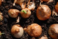 Onions in soil Stock Photos