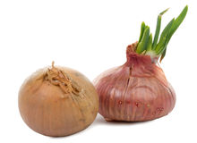 Onions with their germs Royalty Free Stock Image