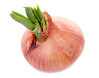 Onions with their germs Stock Photos