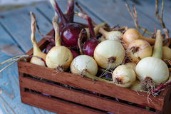 Onions from urban garden Royalty Free Stock Photography