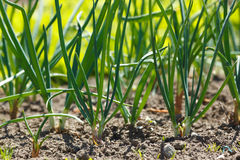 Onions in vegetable garden Royalty Free Stock Photo