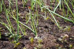 Onions in vegetable gardens. Young green stems onions in vegetable gardens Royalty Free Stock Photo