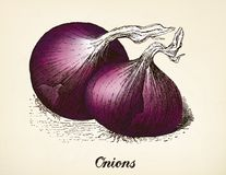 Onions vintage illustration vector Royalty Free Stock Images