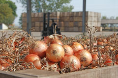 Onions in a warehouse Royalty Free Stock Photos