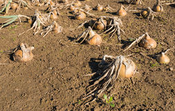 Onions in a wet field from close Royalty Free Stock Image