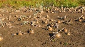 Onions in a wet field Stock Photo