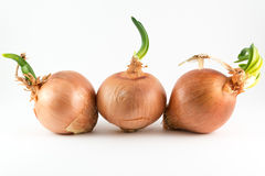 Onions on white Stock Images