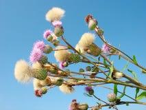 Onkruid. De bloem van het gebied. Stock Foto's
