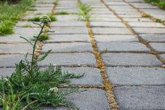 Onkruid die tussen baksteenstraatstenen groeien in tuin stock foto's