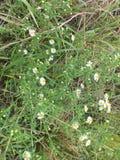 Onkruid met vrij kleine bloemen stock foto