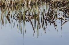 Onkruid in moerasland Royalty-vrije Stock Afbeelding