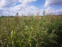 Onkruid op landbouwgebied stock fotografie
