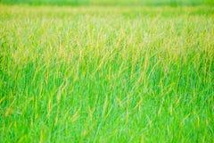 Onkruid in padievelden, Geel gras in groene die padievelden, de rijstinstallatie met onkruid, de schoonheid wordt behandeld van h stock foto's