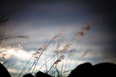 Onkruid in zonsondergang stock fotografie