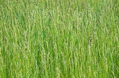 Onkruidsorghum Stock Foto