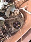 Onlangs geboren babyvogels royalty-vrije stock afbeelding
