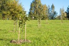 Onlangs geplante sakurabomen Royalty-vrije Stock Afbeeldingen