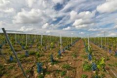 Onlangs geplante wijngaard Royalty-vrije Stock Foto's
