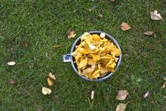 Onlangs geplukte gele chantarelles Stock Foto's
