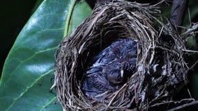 Onlangs grootgebrachte vogels die op nest geeuwen stock videobeelden