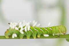 Onlangs te voorschijn gekomen wespcocons op larve Stock Afbeelding