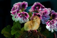 Onlangs uitgebroed, één dag oude kip met Engelse geranium rond stock afbeelding
