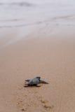 Onlangs uitgebroede babyLoggerhead schildpad Stock Afbeeldingen