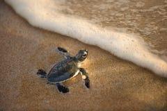 Onlangs uitgebroede babyschildpad naar de oceaan stock foto's