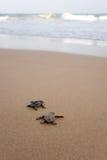 Onlangs uitgebroede babyschildpadden Royalty-vrije Stock Foto's