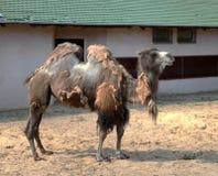 Onlinewsj Bactrian kamel i Moskvazoo Fotografering för Bildbyråer