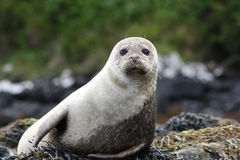 Onlooker seal Royalty Free Stock Photography