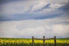 Ono fechtuje się przed canola kwiatu polem na gospodarstwie rolnym w Caledon, Zachodni przylądek, Południowa Afryka fotografia royalty free