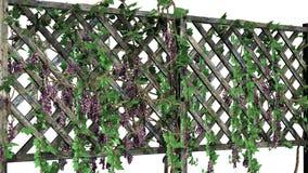 Ono fechtuje się z winogradów tendrils - odizolowywającymi na białym tle Obraz Royalty Free