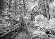 Ono fechtuje się w modrzewiowym lesie w monochromu Fotografia Royalty Free