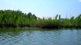 Ono potyka się namorzynowy las na Kangy rzece, Chaung Tha, Myanmar zbiory wideo